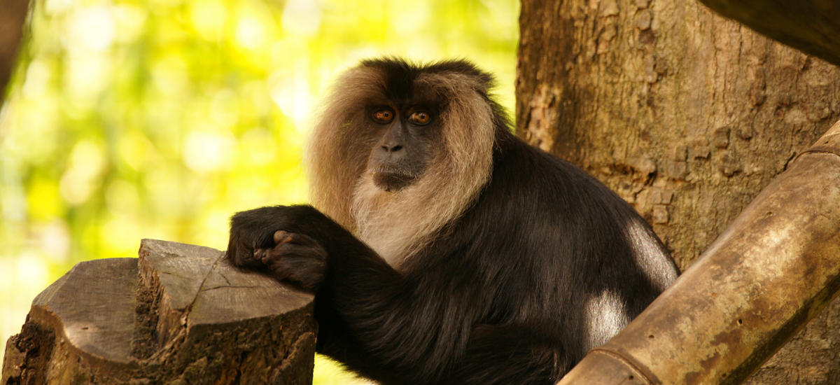BANNER_Lion-tailed-Macaques-Rockhampton-Zoo-4.jpg