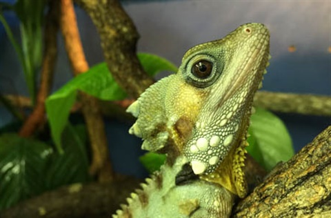 THUMB-Boyds-Forest-dragon-Rockhampton-Zoo.jpg