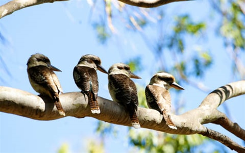 THUMB-Kookaburras-at-the-Rockhampton-Zoo.jpg